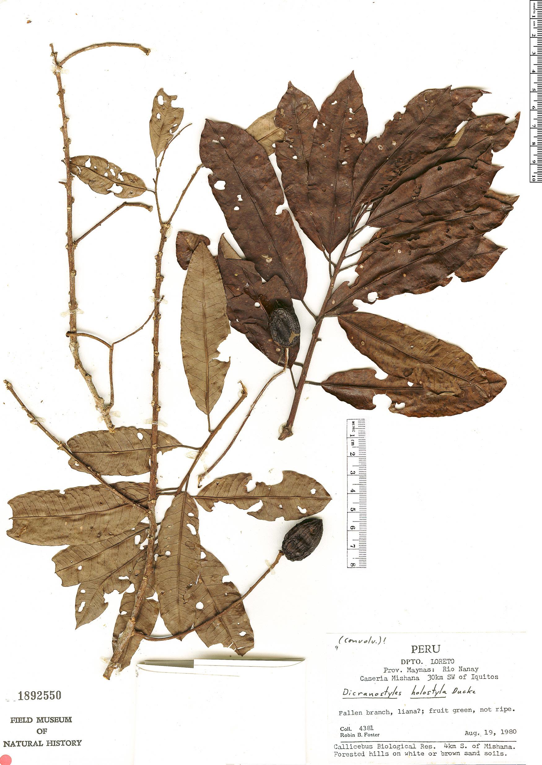 Specimen: Dicranostyles holostyla