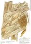 Astrocaryum murumuru var. murumuru, Peru, A. H. Gentry 26925, F