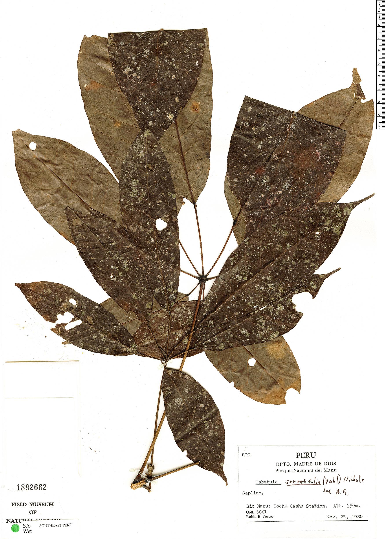 Specimen: Handroanthus serratifolius