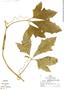 Psiguria ternata (Roem.) C. Jeffrey, Peru, R. B. Foster 5858, F
