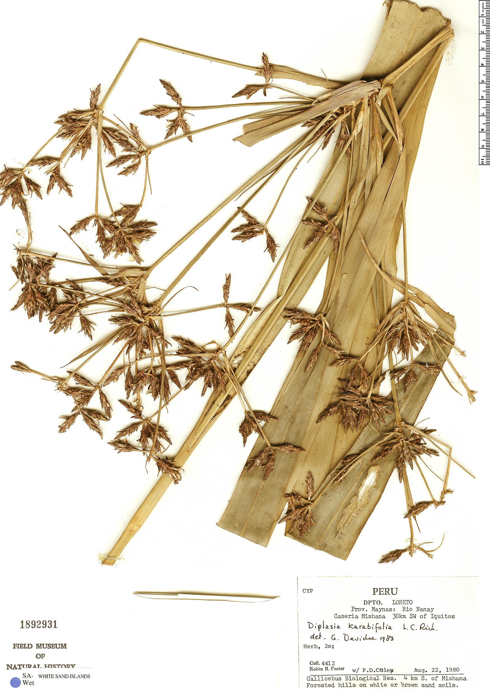 Specimen: Diplasia karatifolia