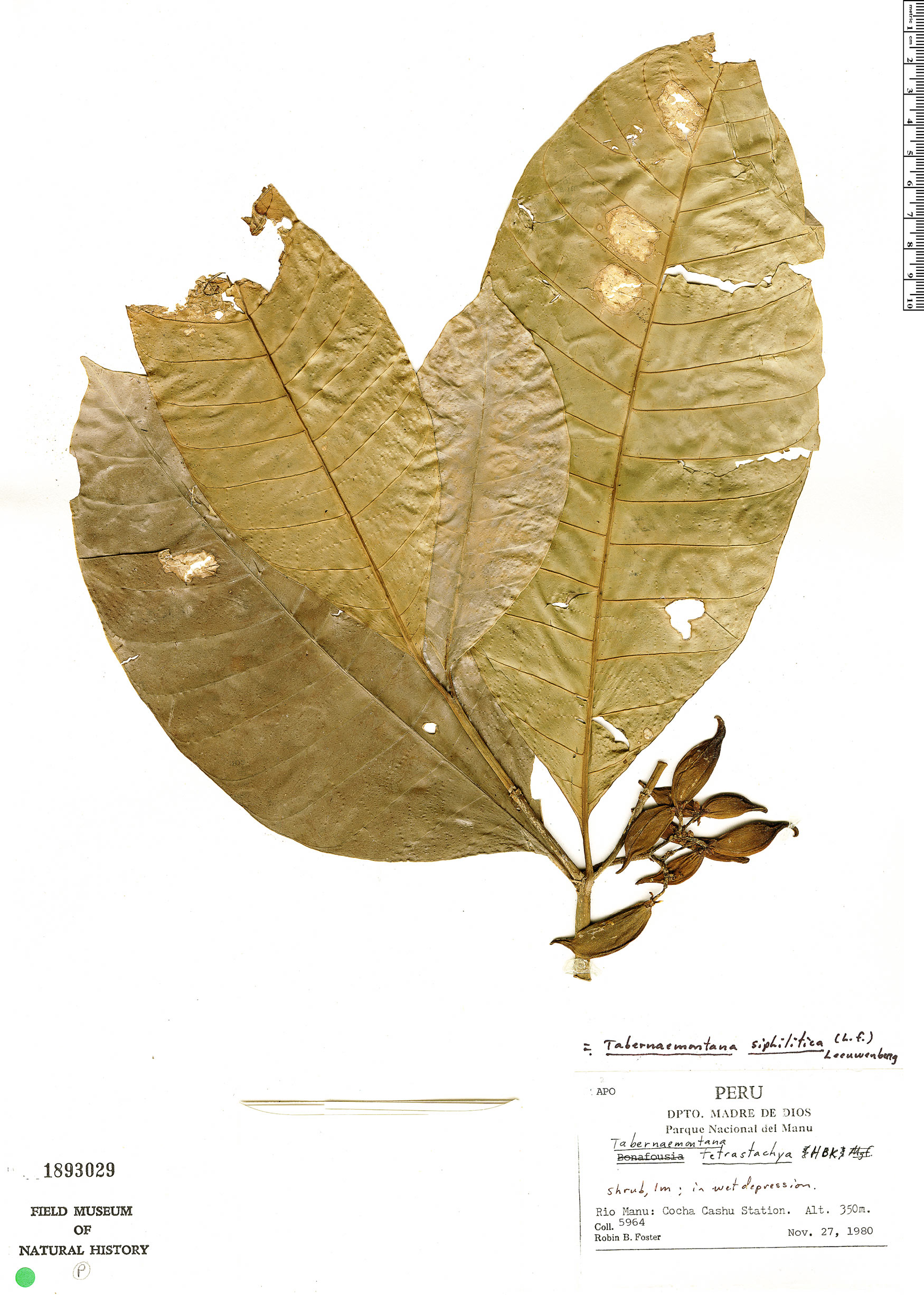 Specimen: Tabernaemontana siphilitica