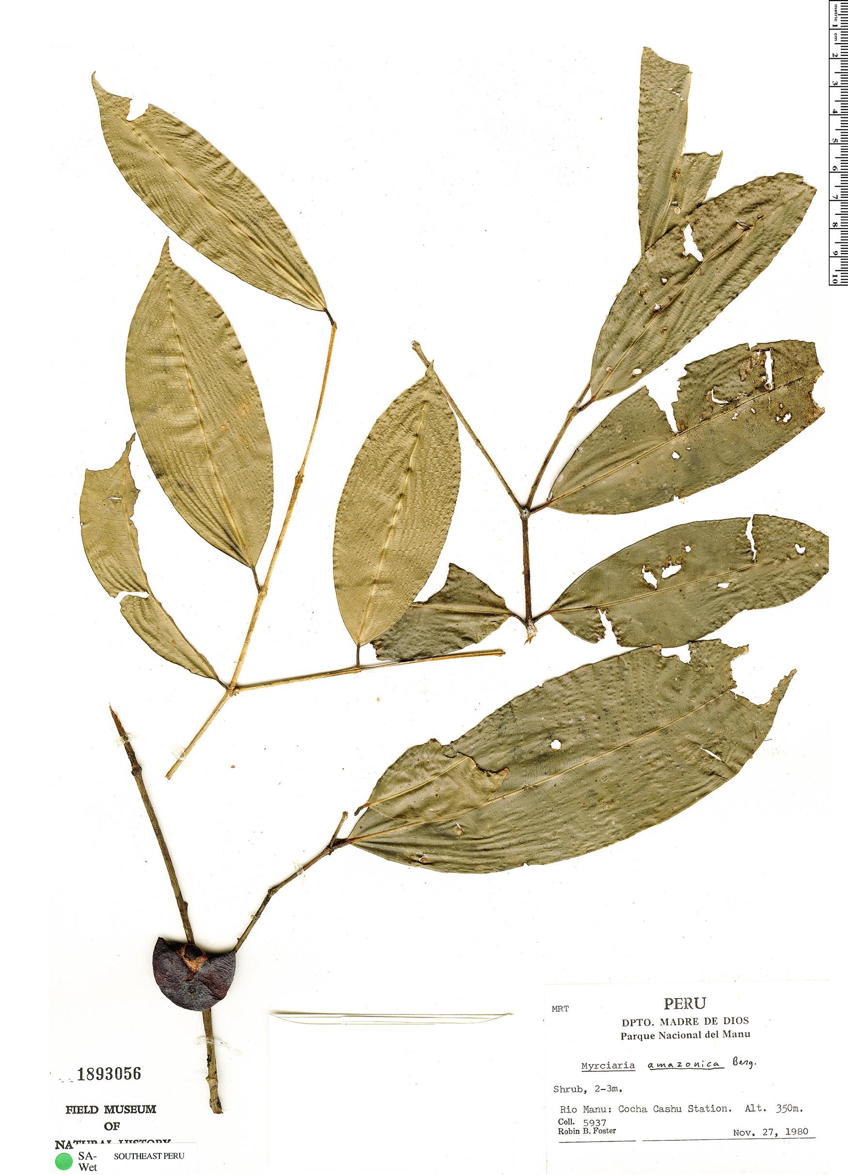 Specimen: Myrciaria amazonica