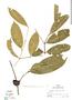 Myrciaria amazonica O. Berg, Peru, R. B. Foster 5937, F