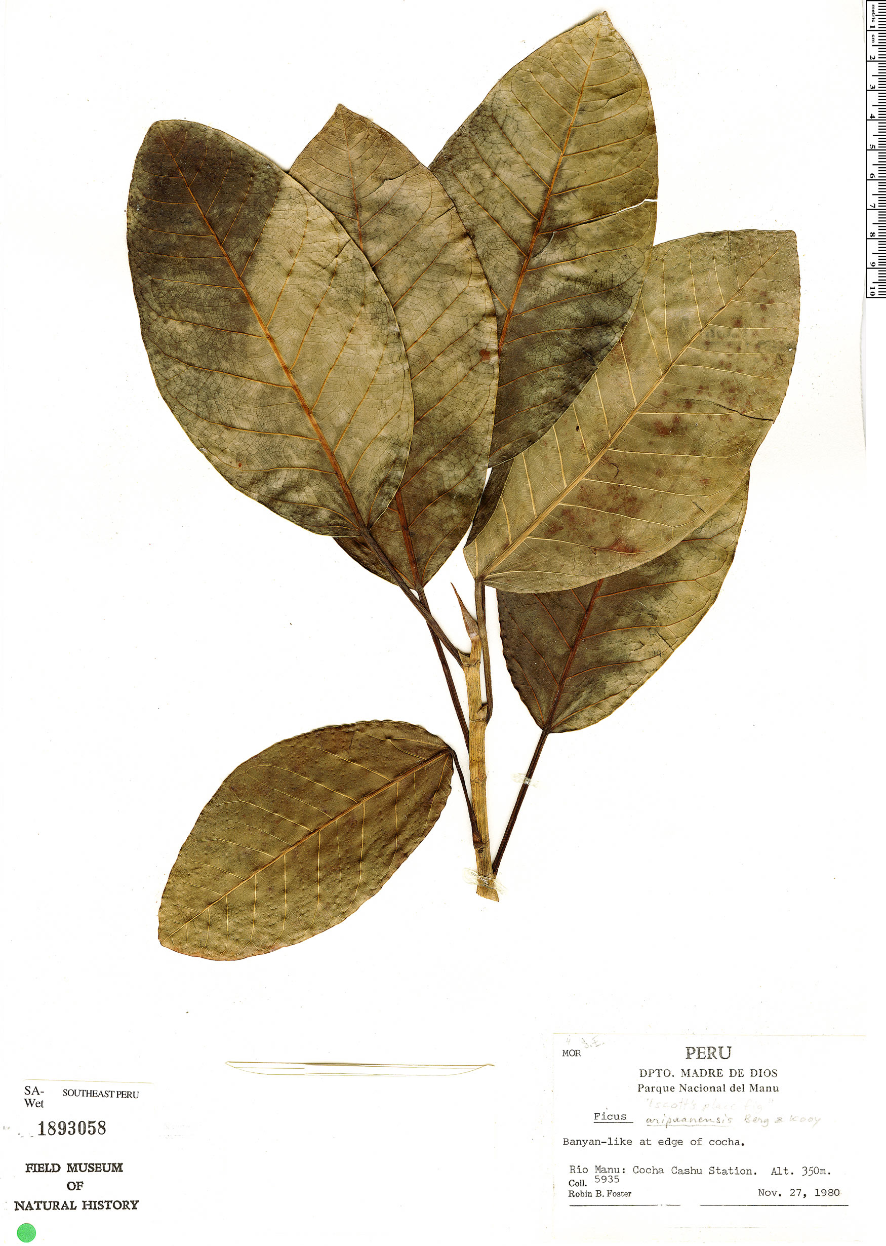 Specimen: Ficus paludica