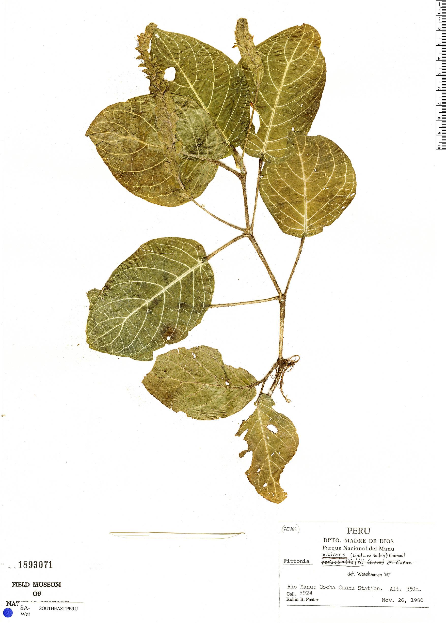 Specimen: Fittonia albivenis