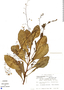 Talinum paniculatum (Jacq.) Gaertn., Mexico, B. F. Hansen 7559, F