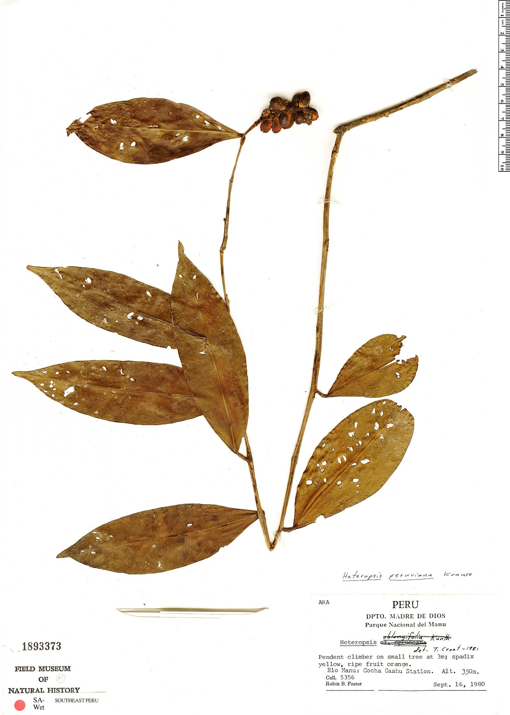 Specimen: Heteropsis peruviana