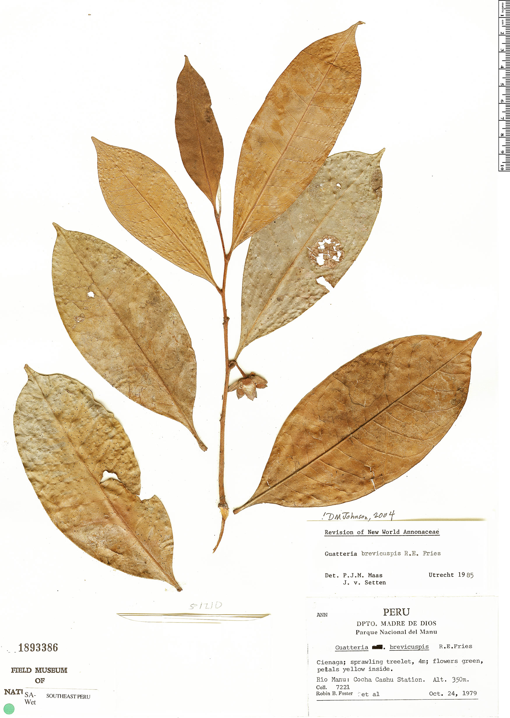 Espécime: Guatteria blepharophylla