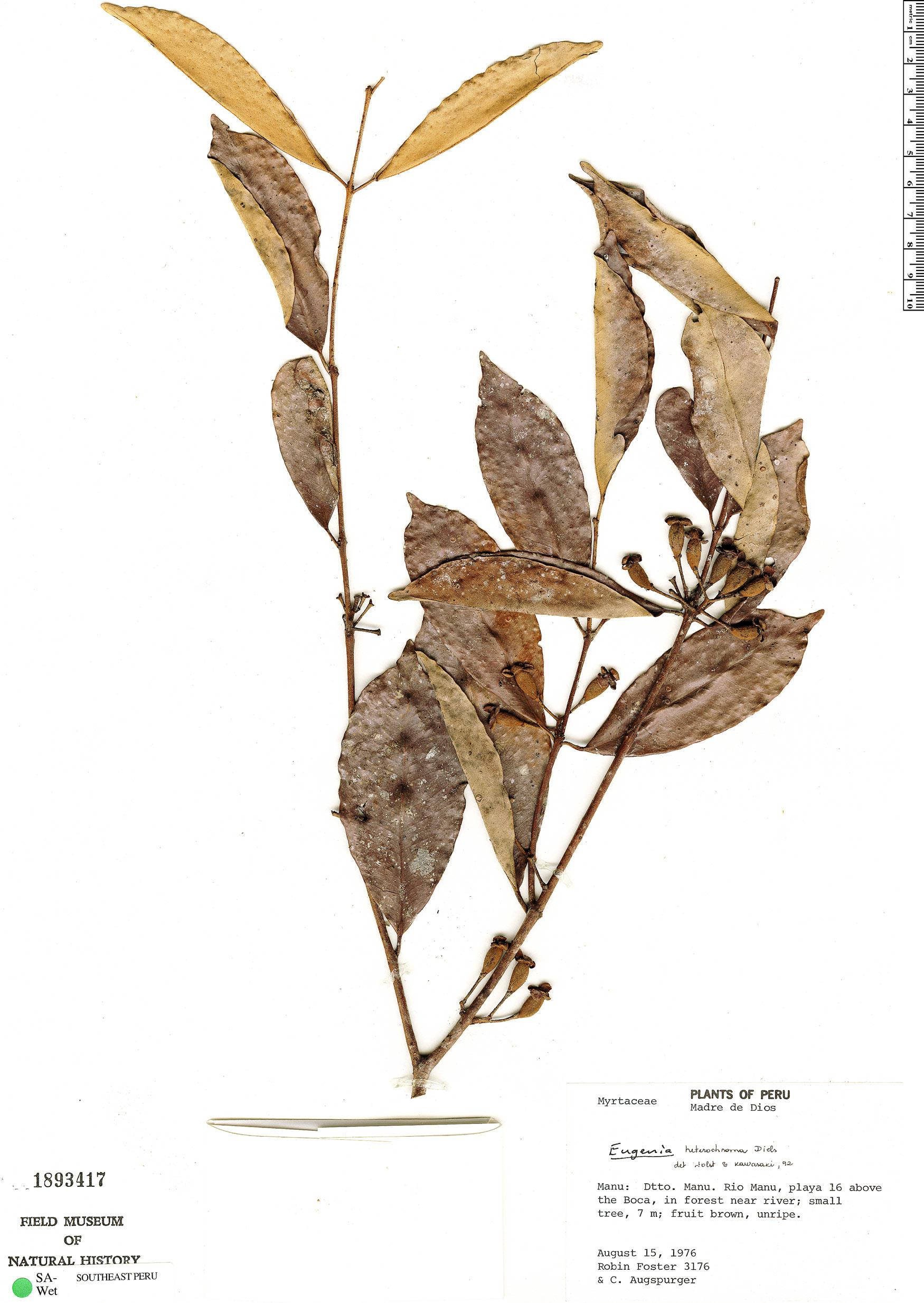 Specimen: Eugenia heterochroma