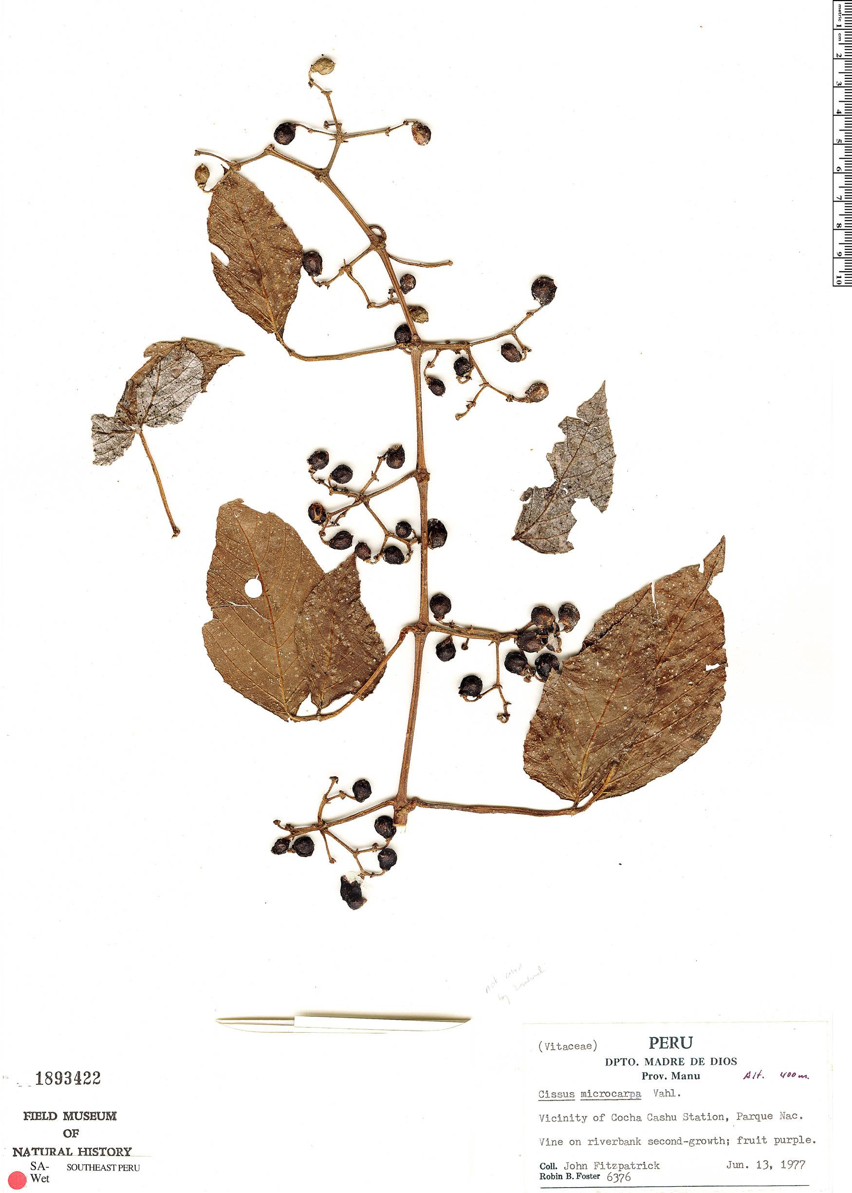 Specimen: Cissus peruviana
