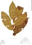 Clidemia heterophylla (Desr.) Gleason, Peru, R. B. Foster 5814, F