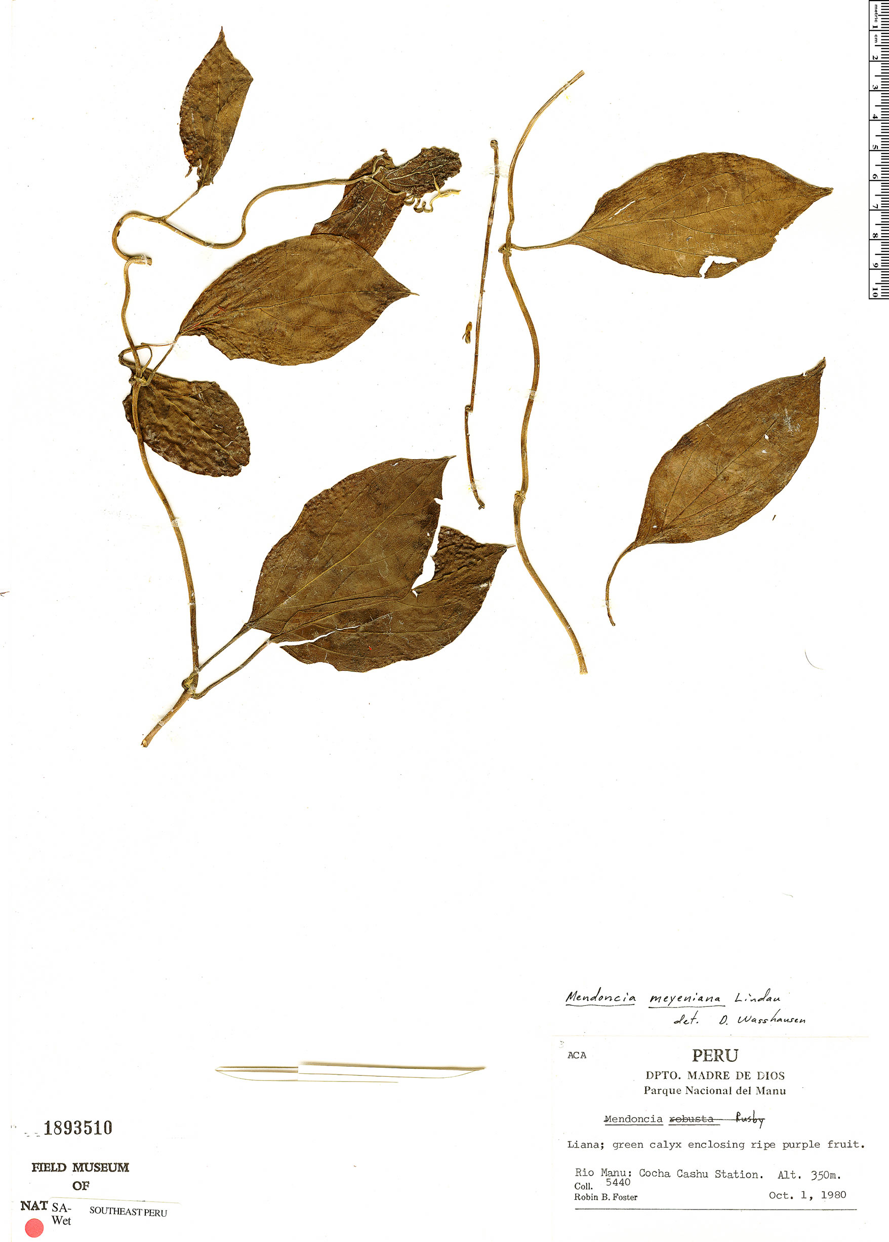 Espécime: Mendoncia meyeniana