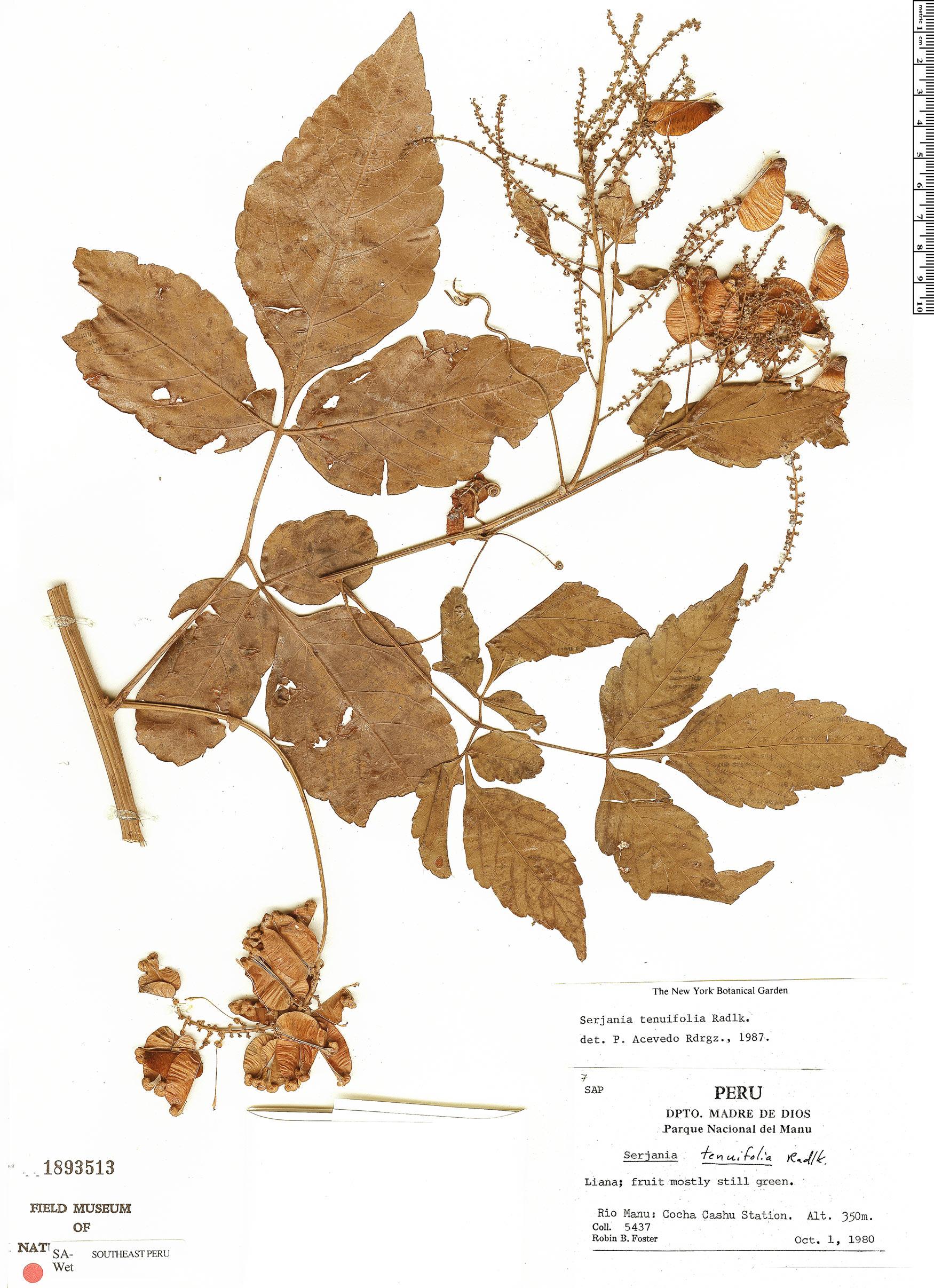 Specimen: Serjania tenuifolia