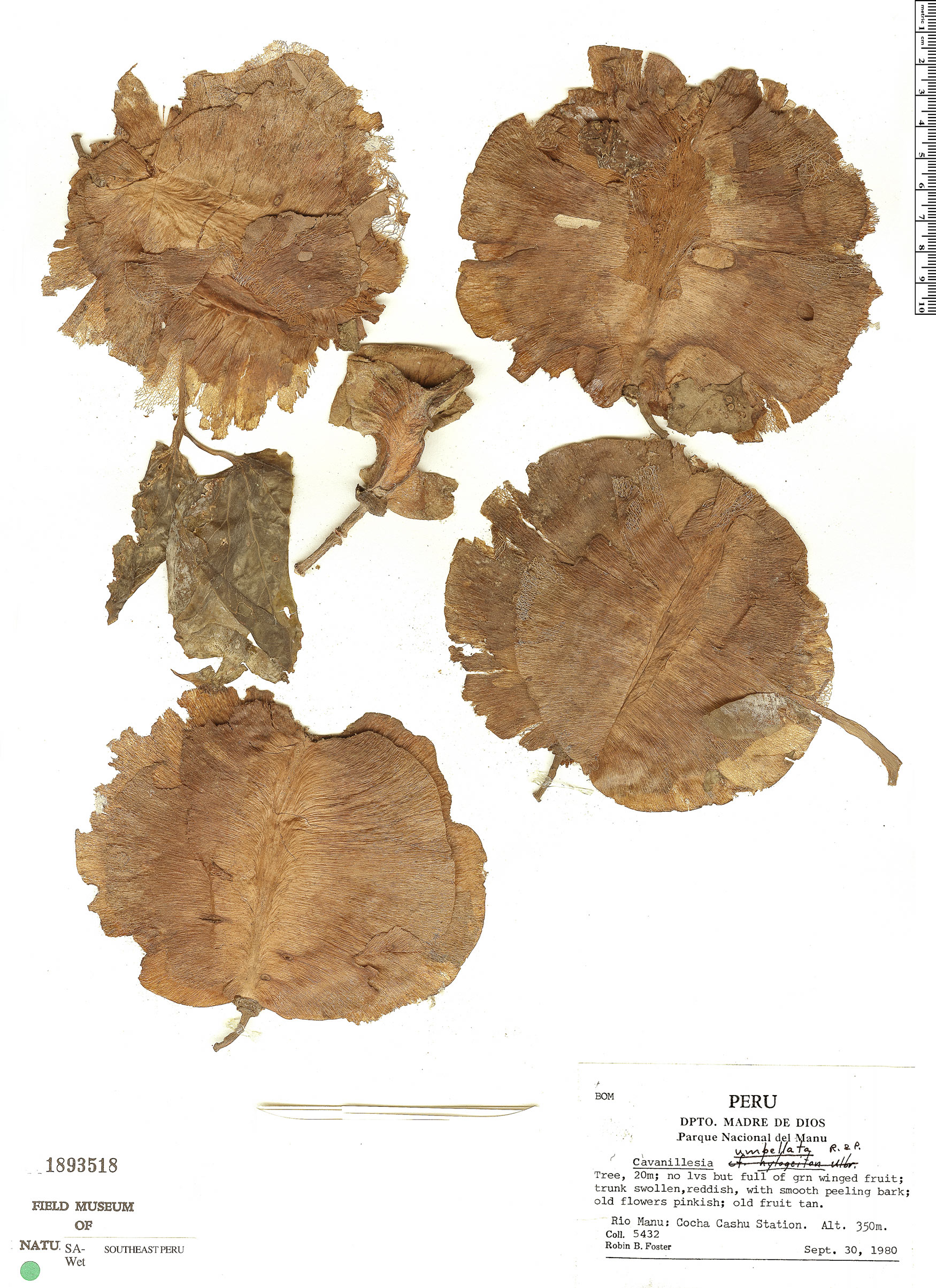 Specimen: Cavanillesia umbellata