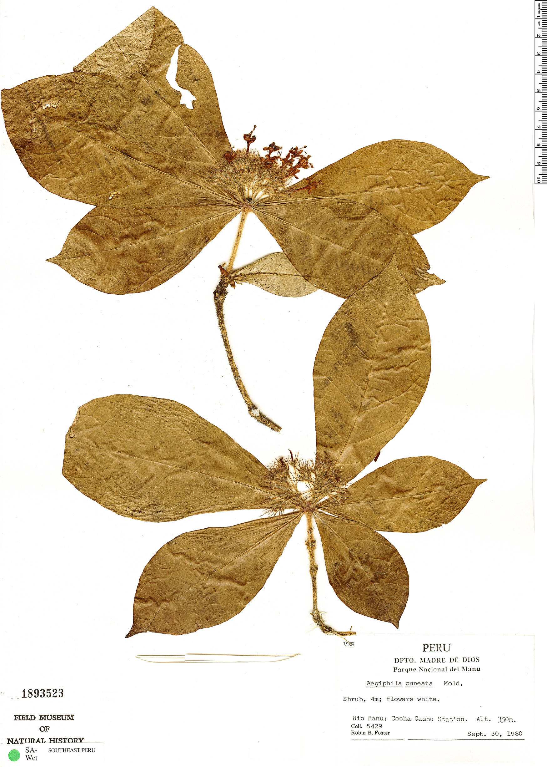 Specimen: Aegiphila cuneata