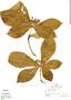 Aegiphila cuneata Moldenke, Peru, R. B. Foster 5429, F