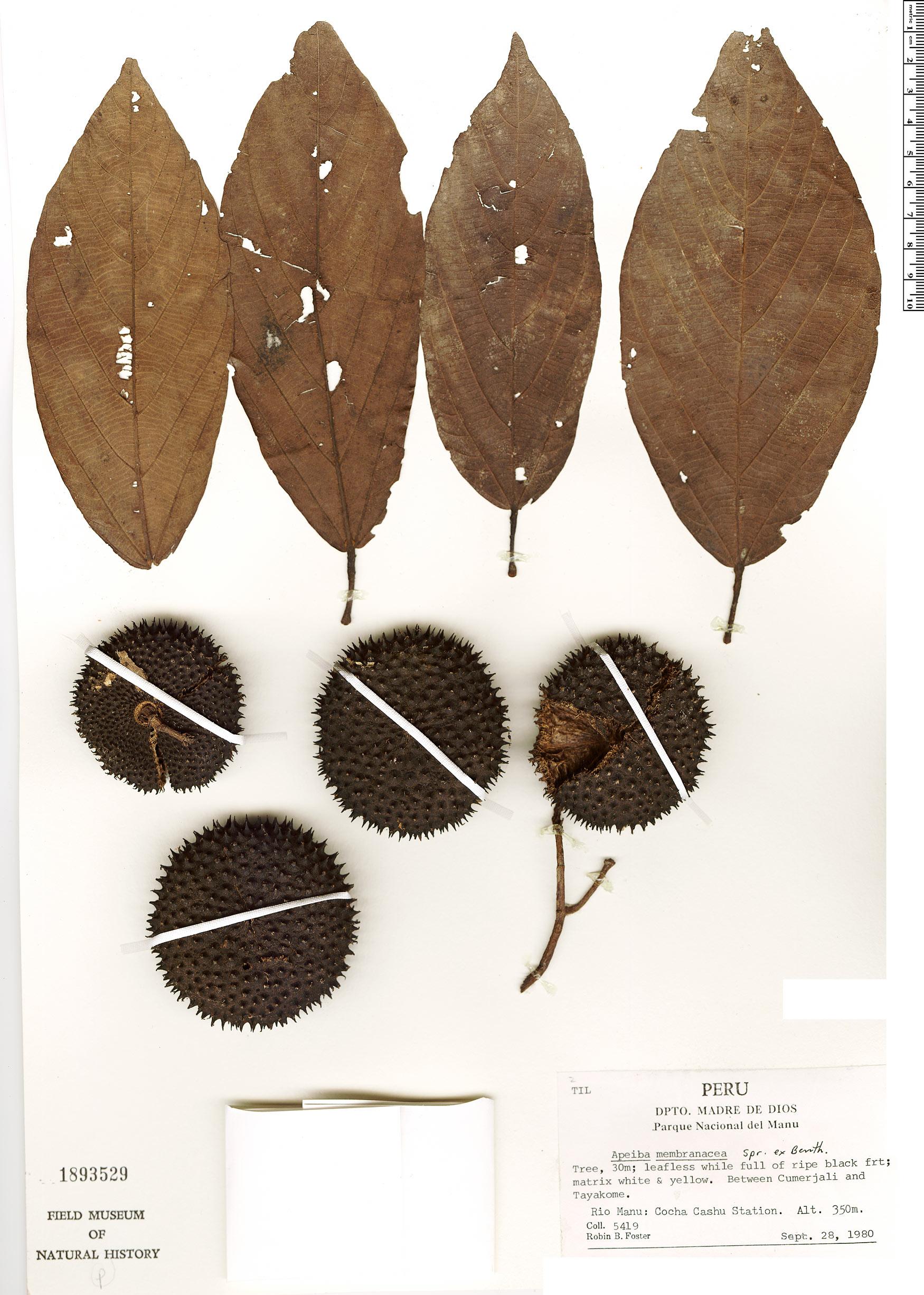 Specimen: Apeiba membranacea
