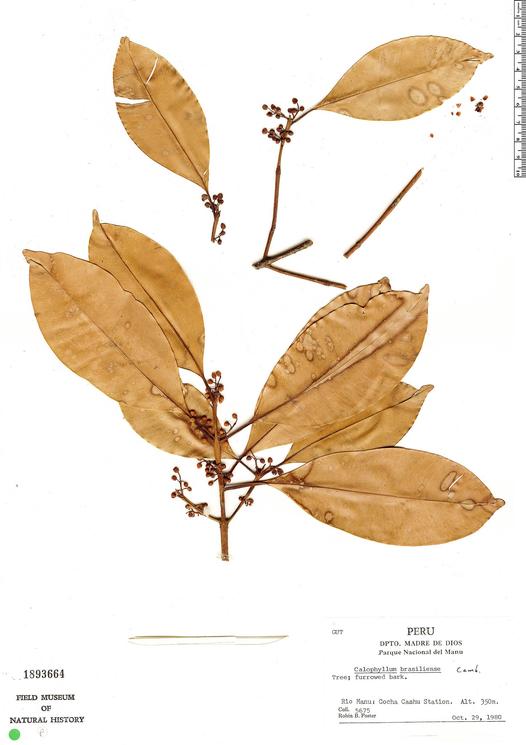 Espécimen: Calophyllum brasiliense
