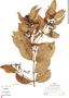 Anthodon decussatum image