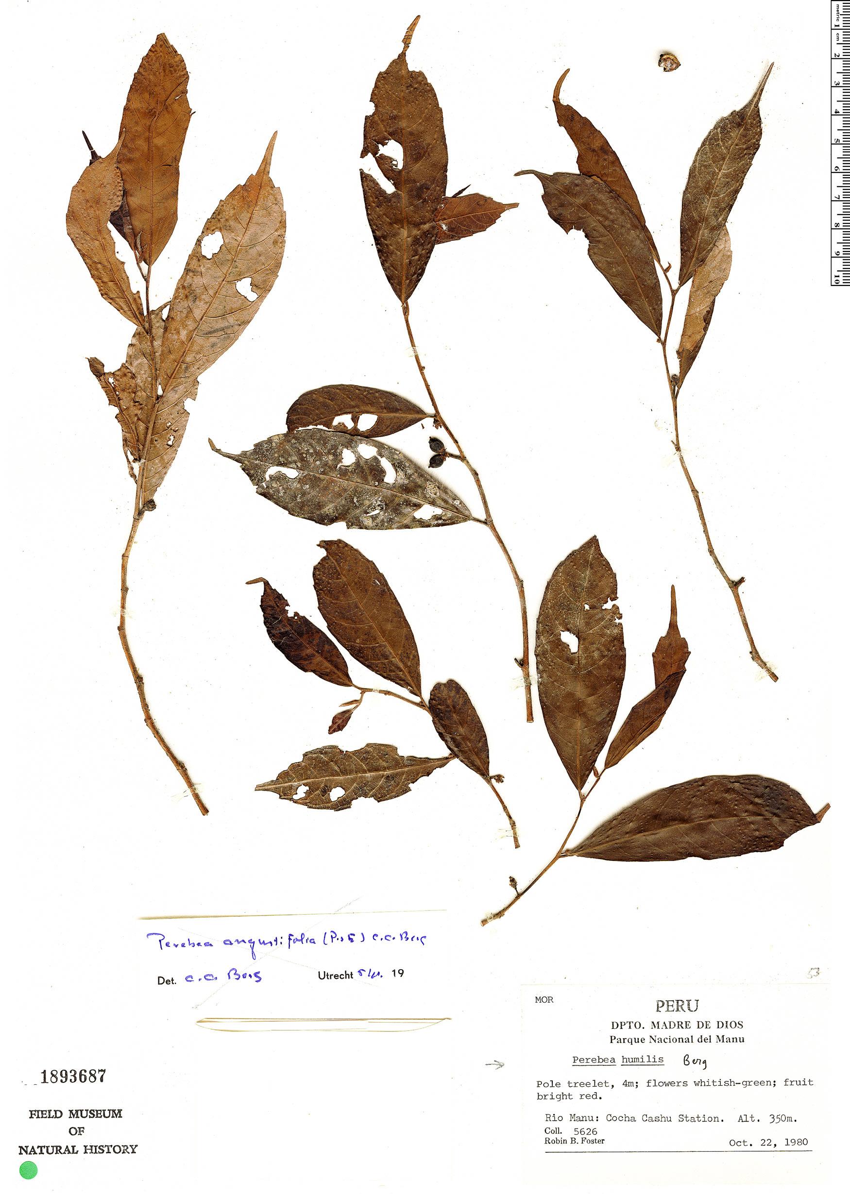 Specimen: Perebea humilis