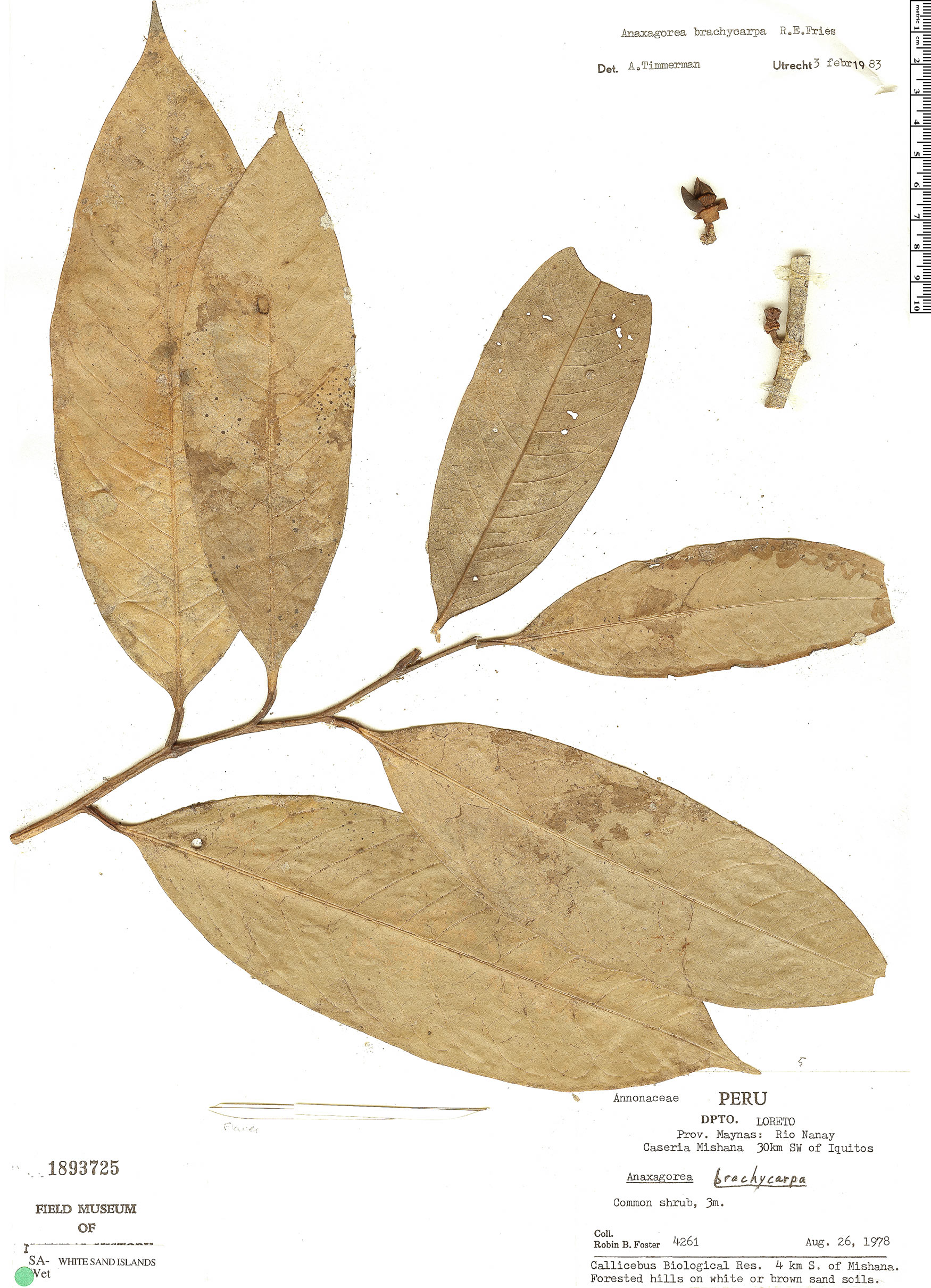 Espécimen: Anaxagorea brachycarpa