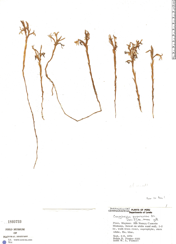 Specimen: Campylosiphon purpurascens