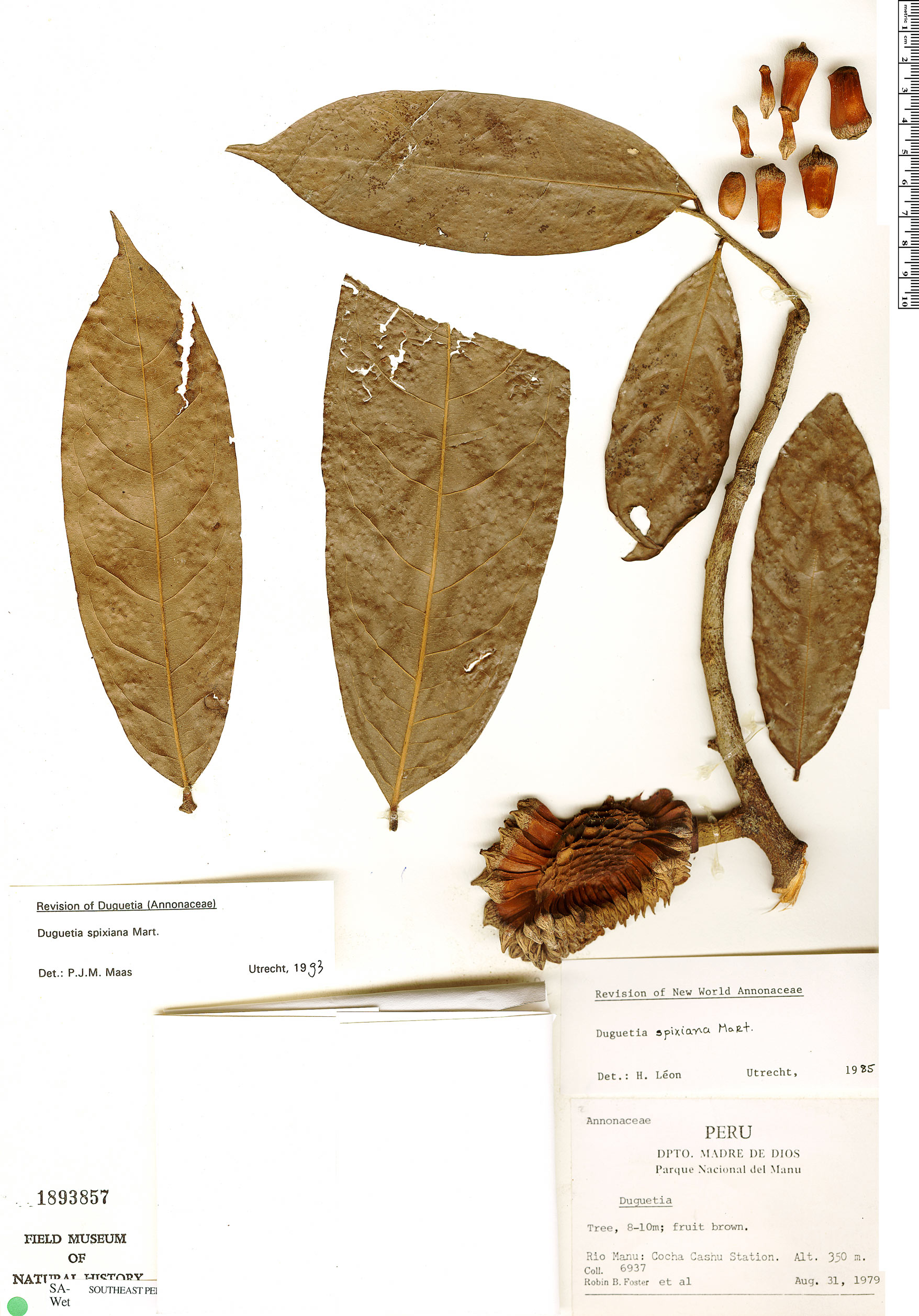 Specimen: Duguetia spixiana