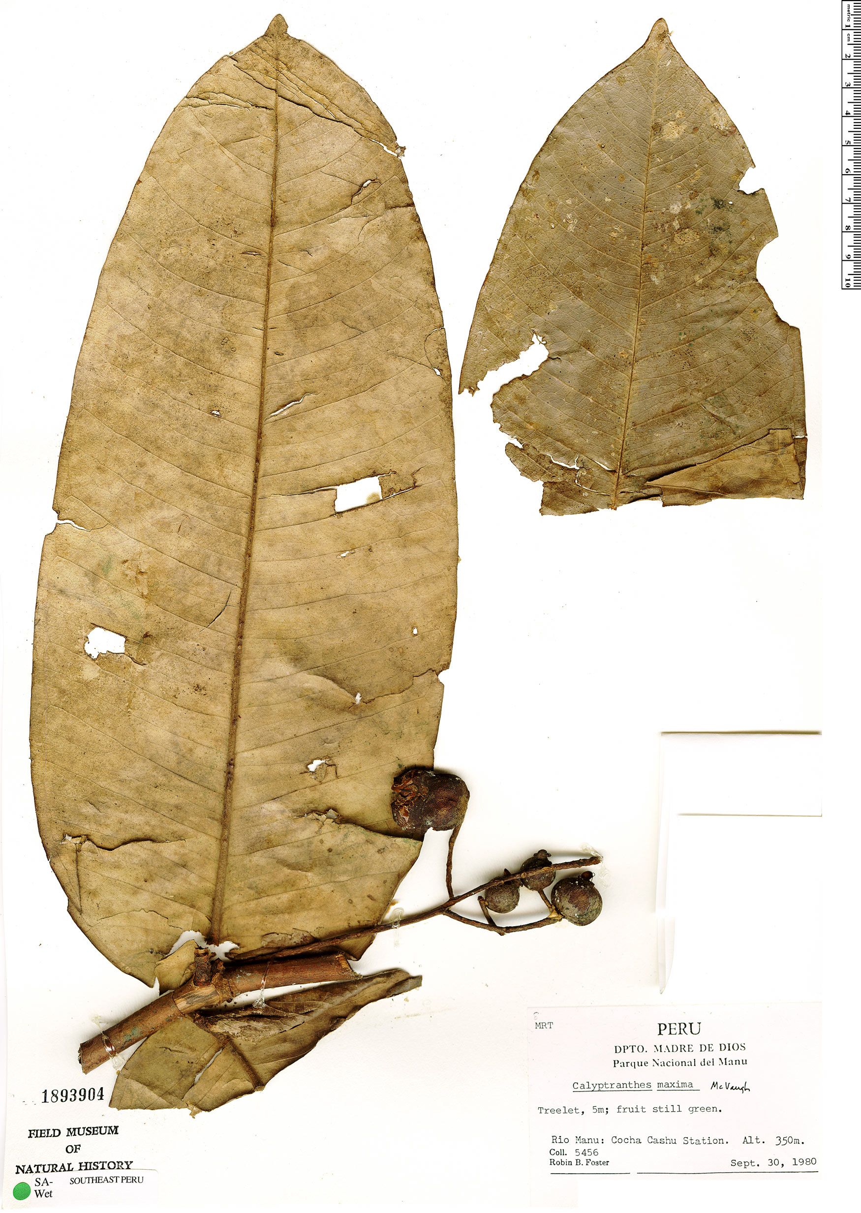 Specimen: Calyptranthes