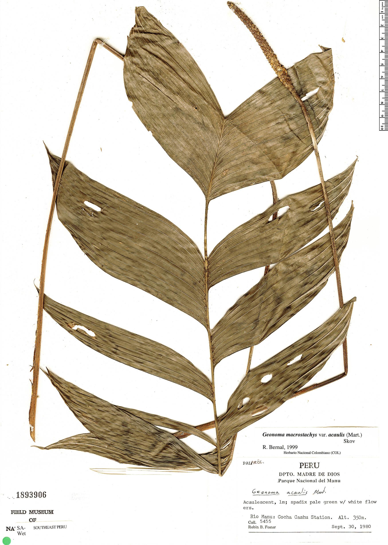 Espécime: Geonoma macrostachys