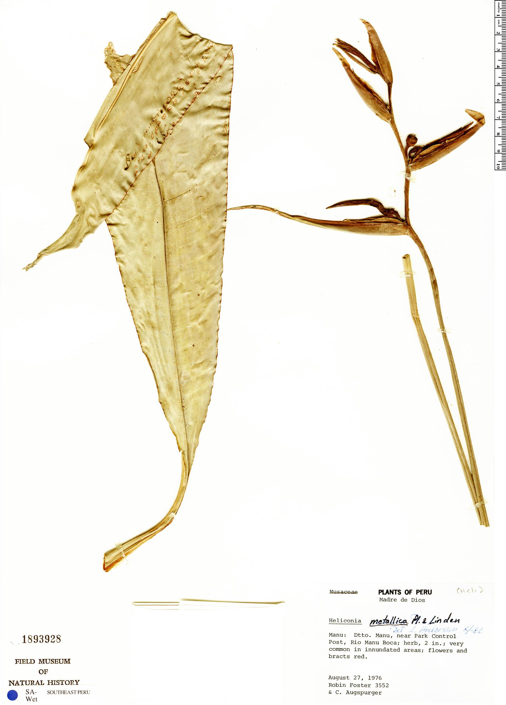 Specimen: Heliconia metallica