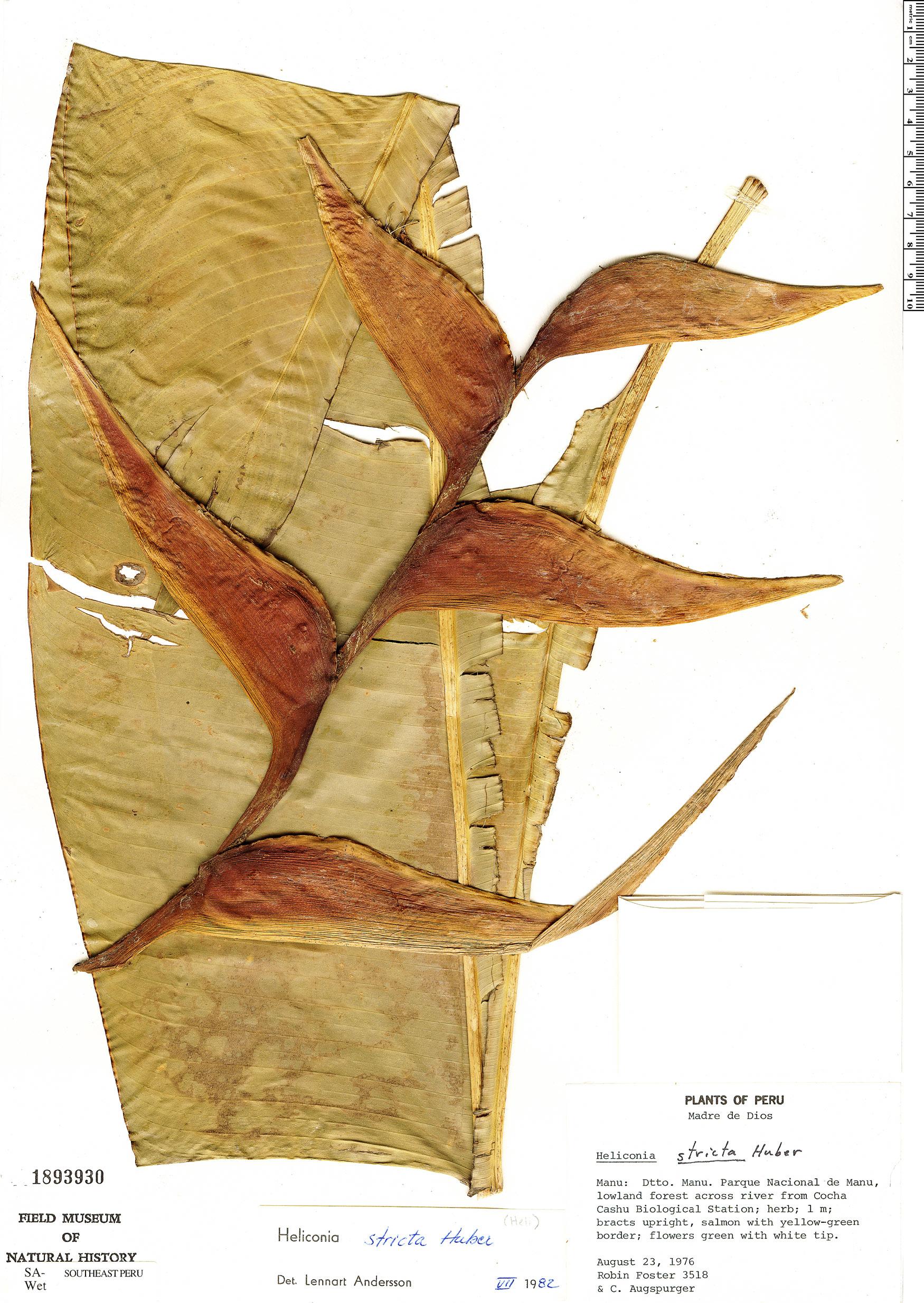 Specimen: Heliconia stricta