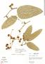 Smilax cf. poeppigii Kunth, Peru, R. B. Foster 3294, F