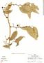 Smilax poeppigii Kunth, Peru, R. B. Foster 5082, F