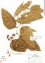 Smilax poeppigii Kunth, Peru, R. B. Foster 5245, F