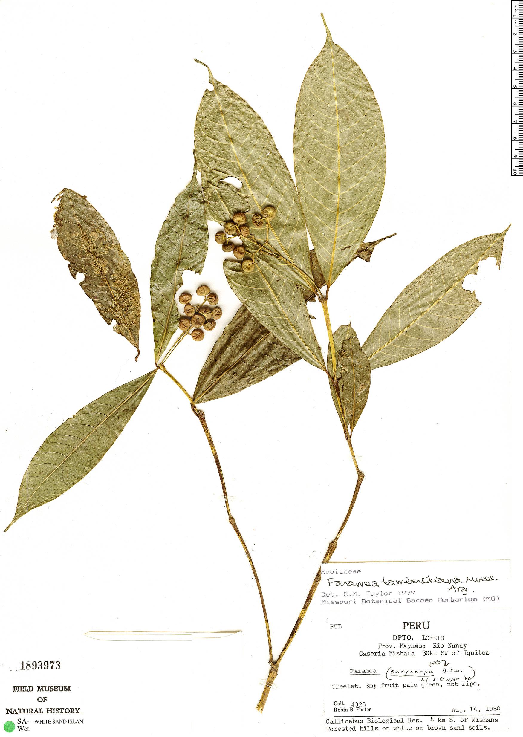 Specimen: Faramea tamberlikiana
