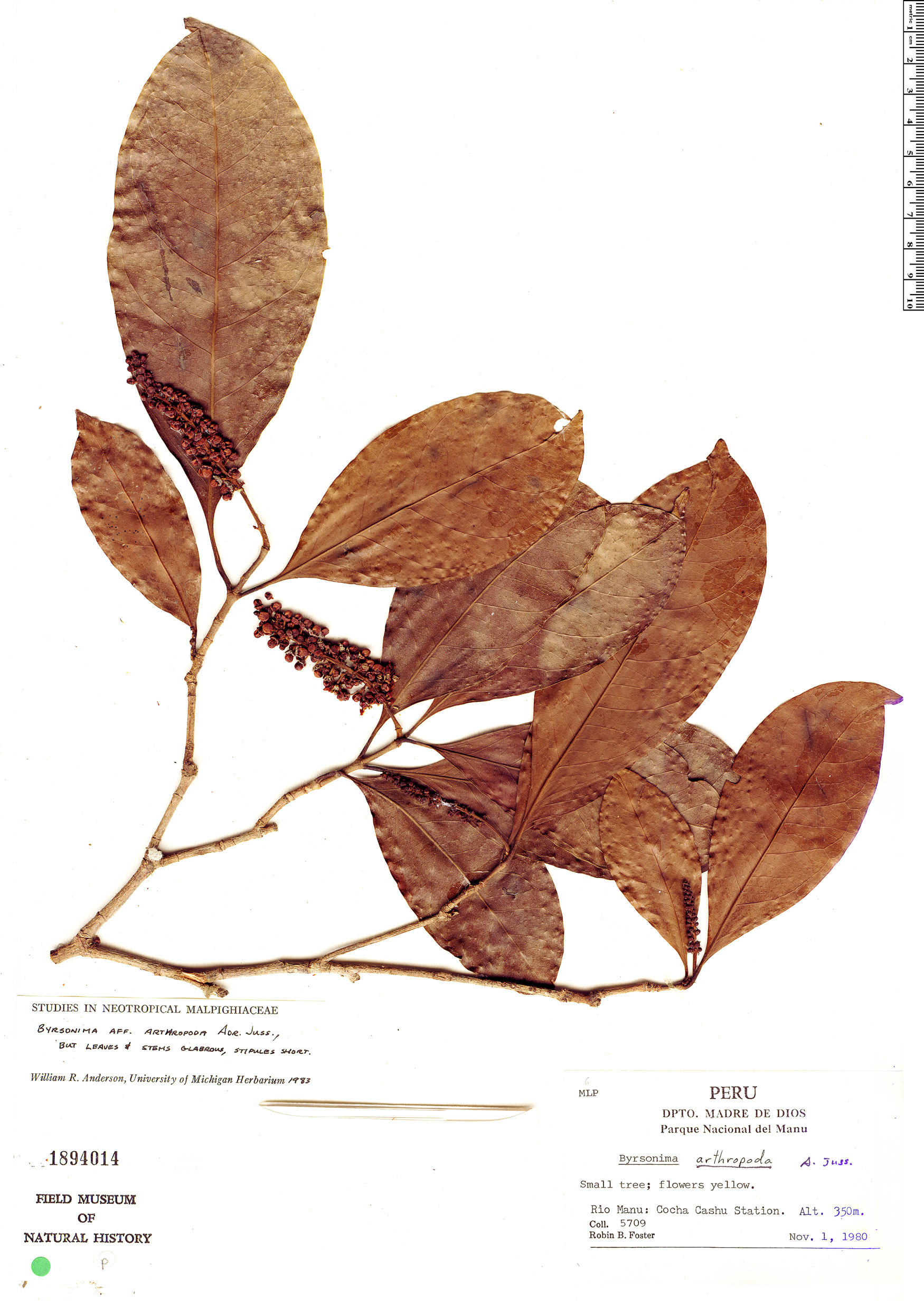 Espécime: Byrsonima arthropoda