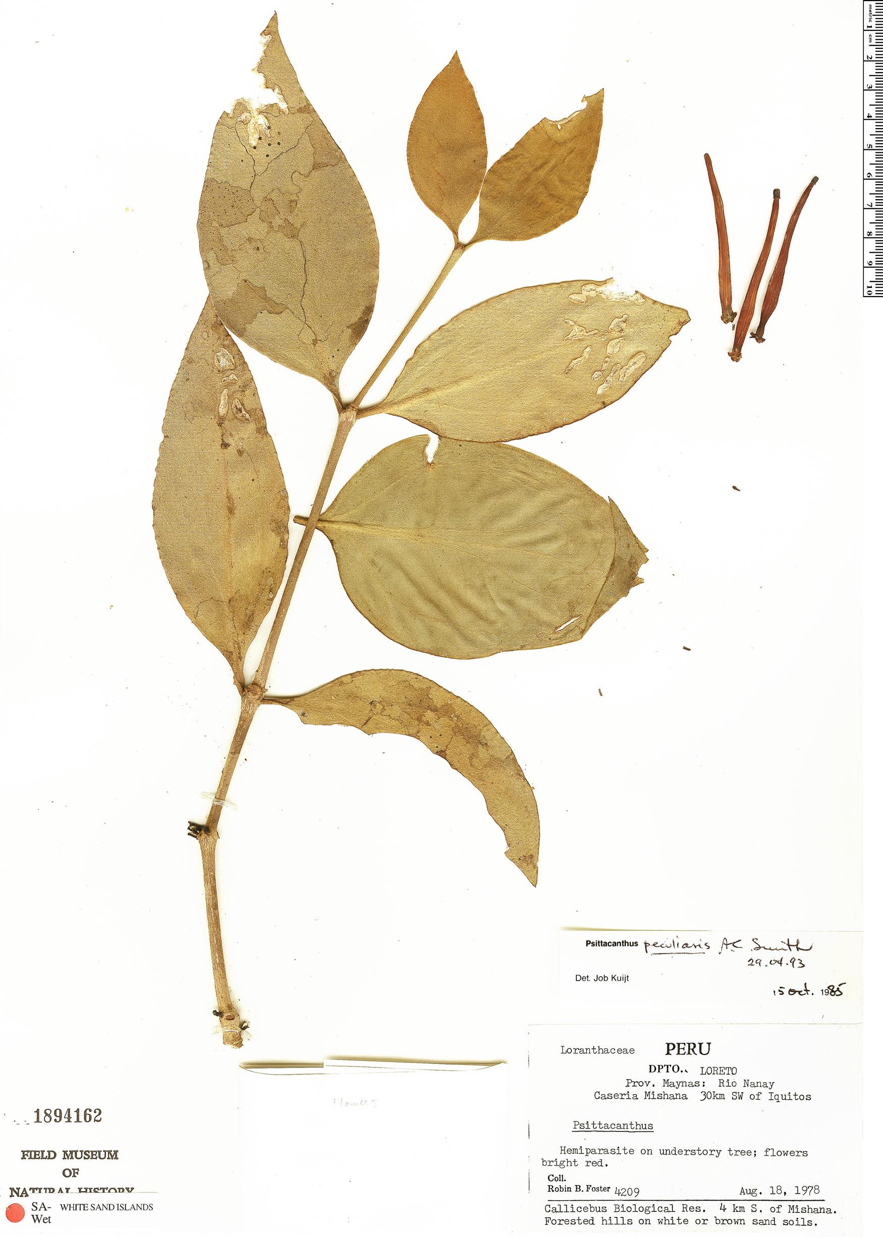 Specimen: Psittacanthus peculiaris