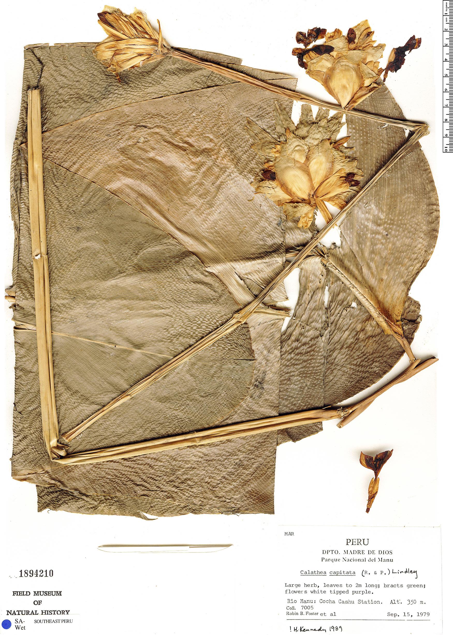 Espécime: Calathea capitata
