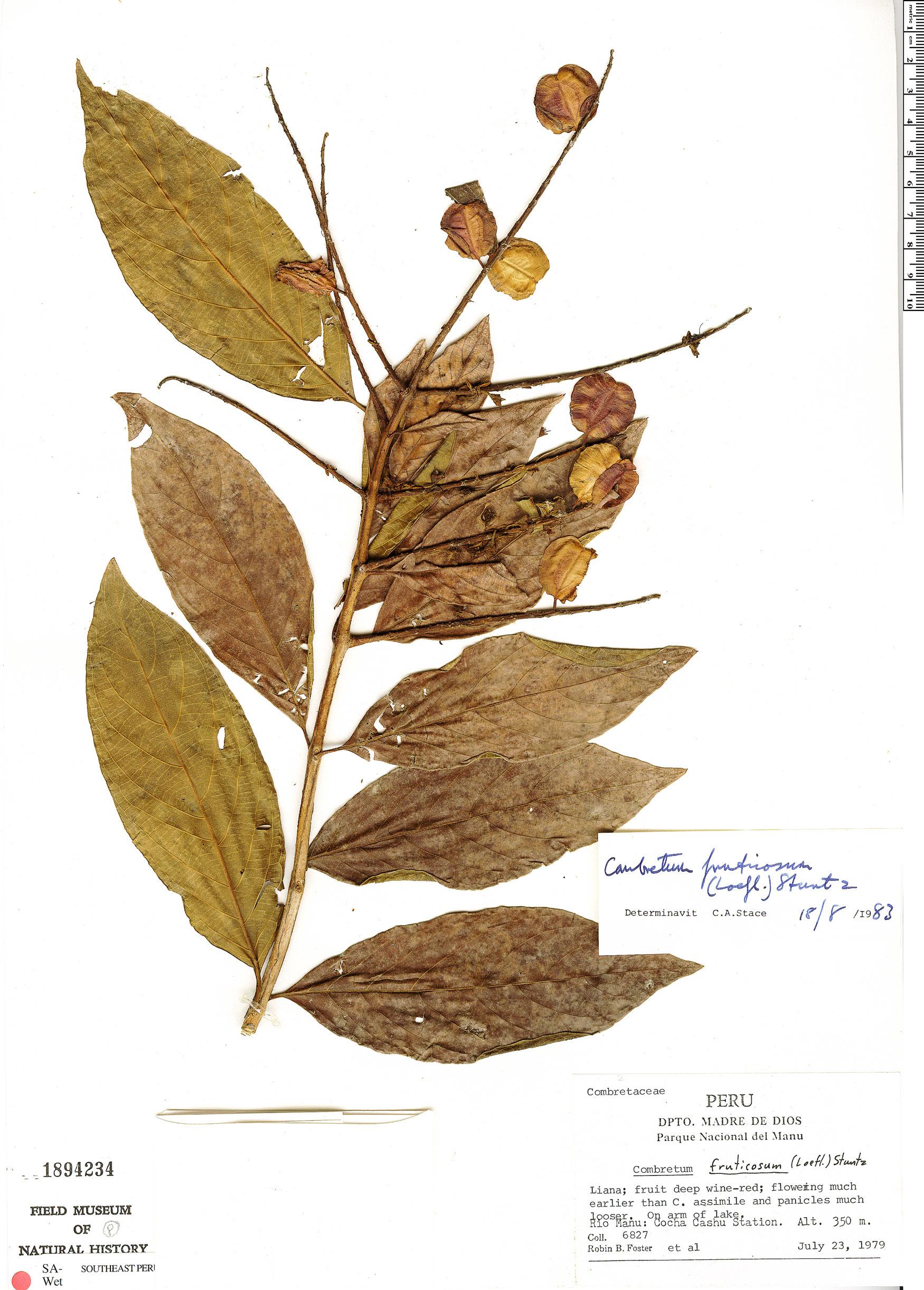 Specimen: Combretum fruticosum