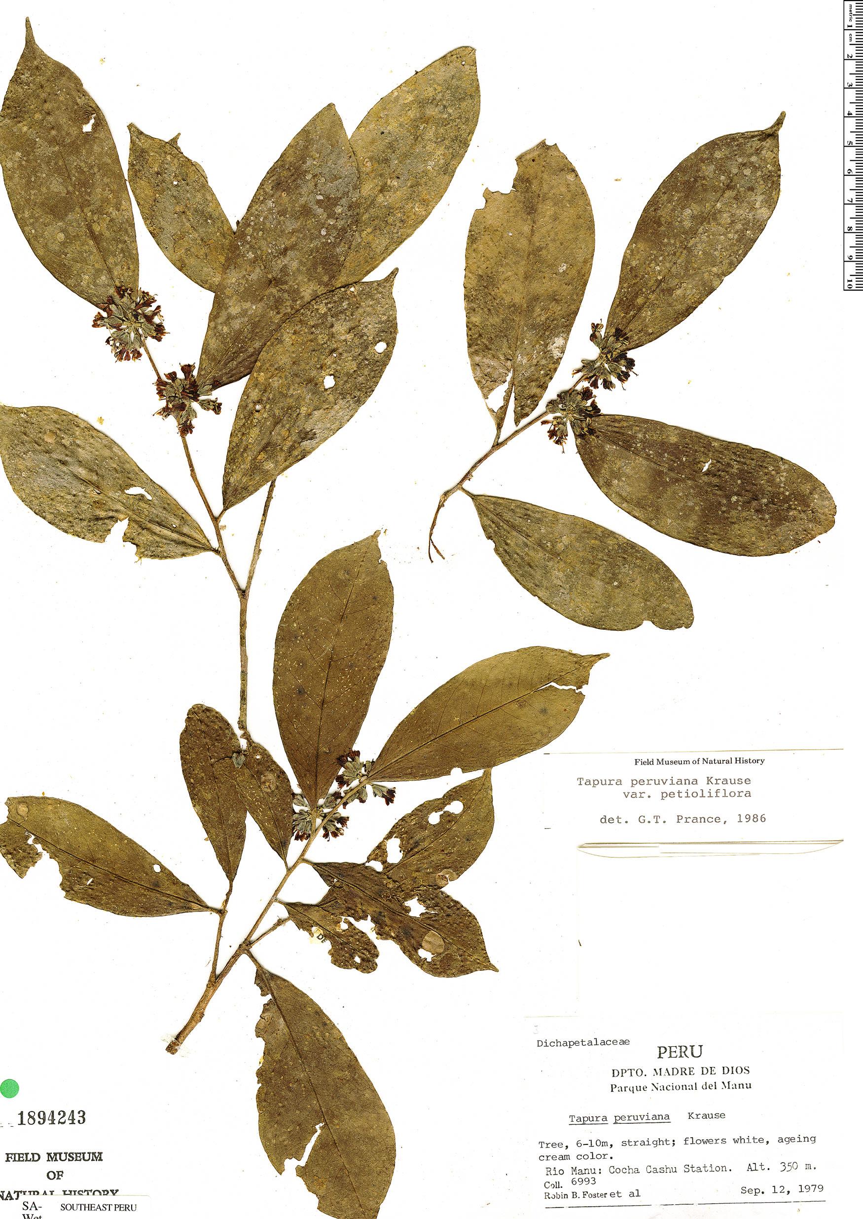 Specimen: Tapura peruviana