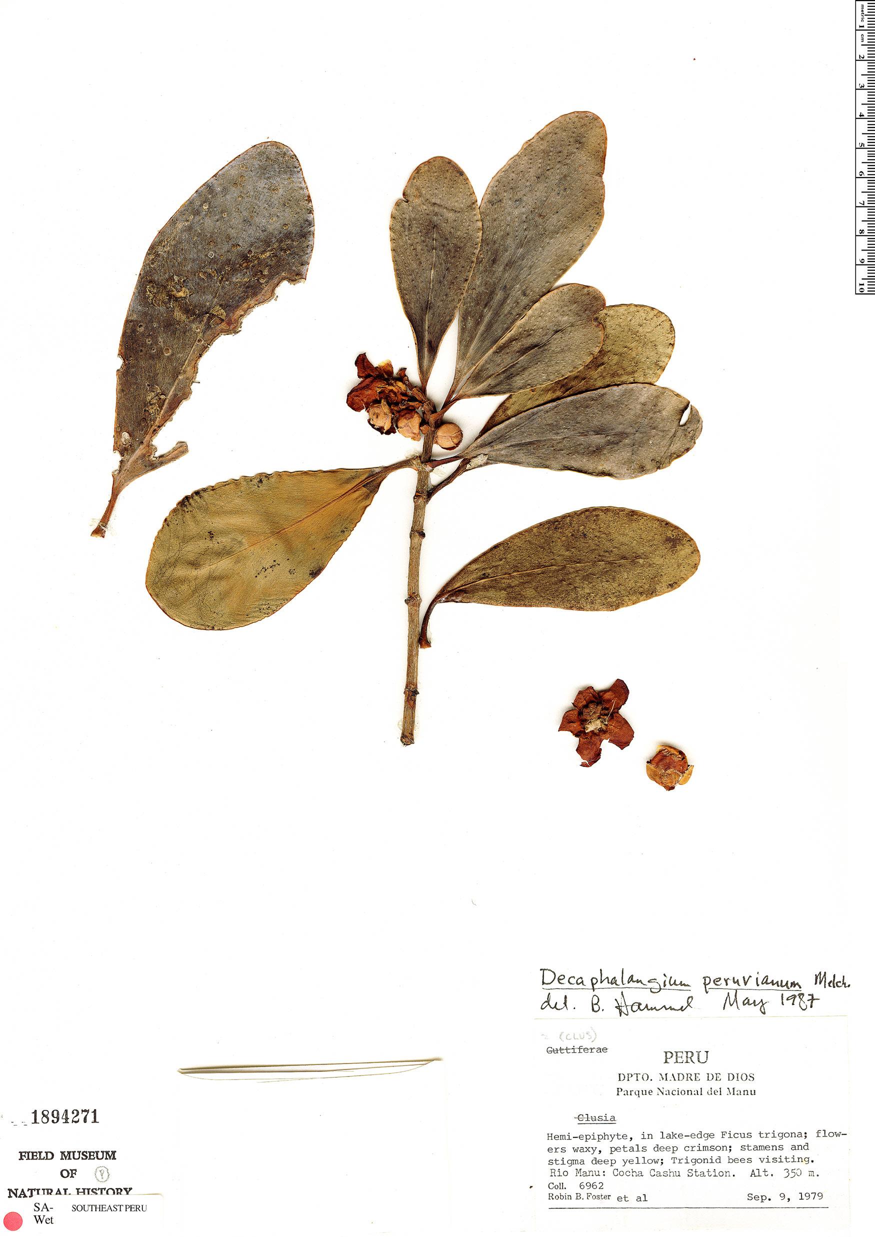 Specimen: Clusia nigrolineata