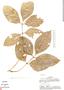Paullinia mazanensis J. F. Macbr., Peru, A. H. Gentry 26815, F