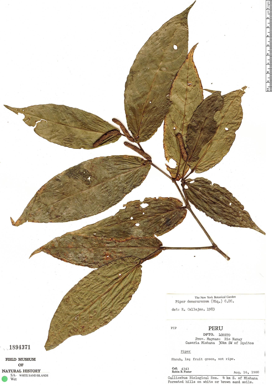 Specimen: Piper demeraranum