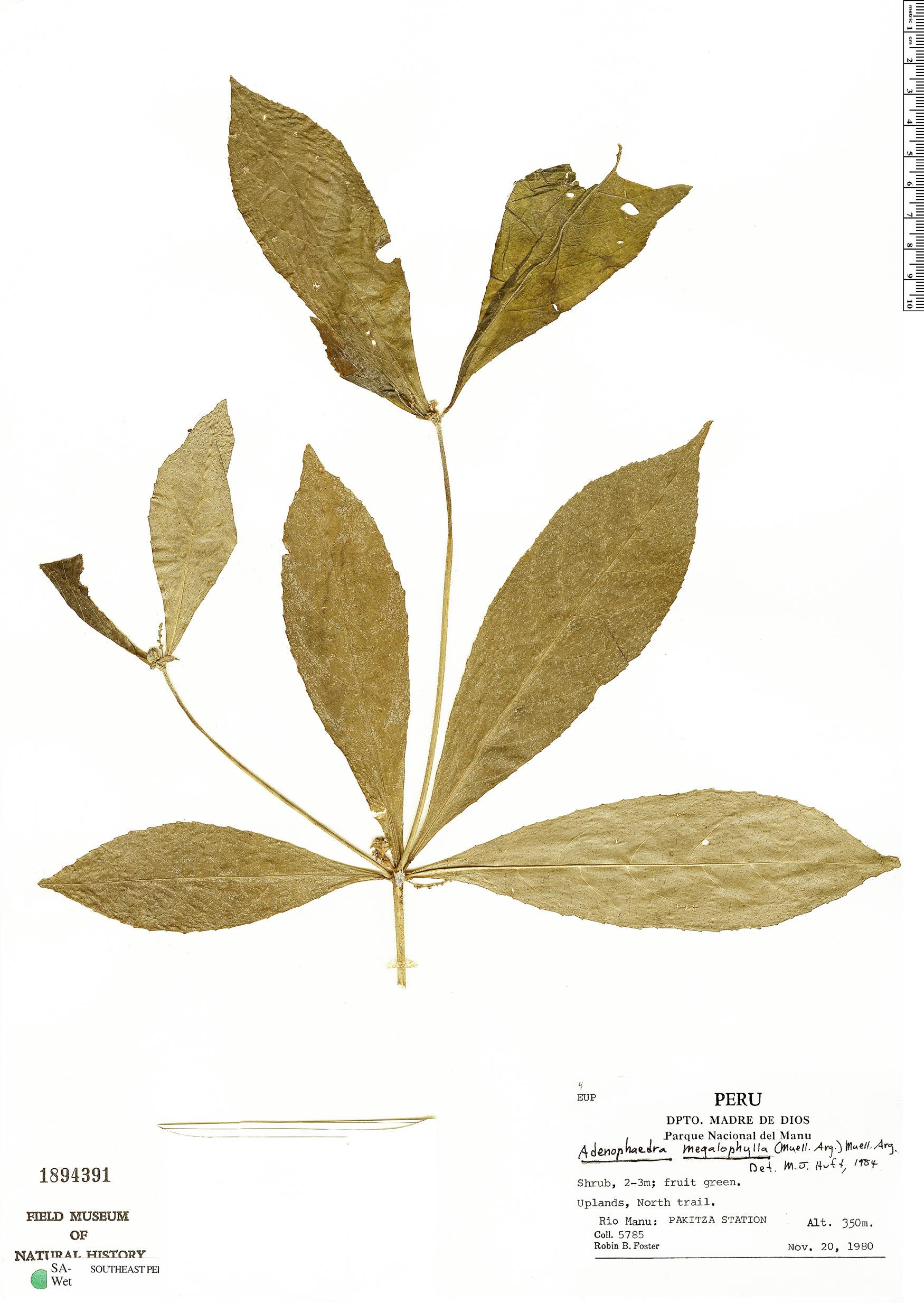 Specimen: Adenophaedra megalophylla