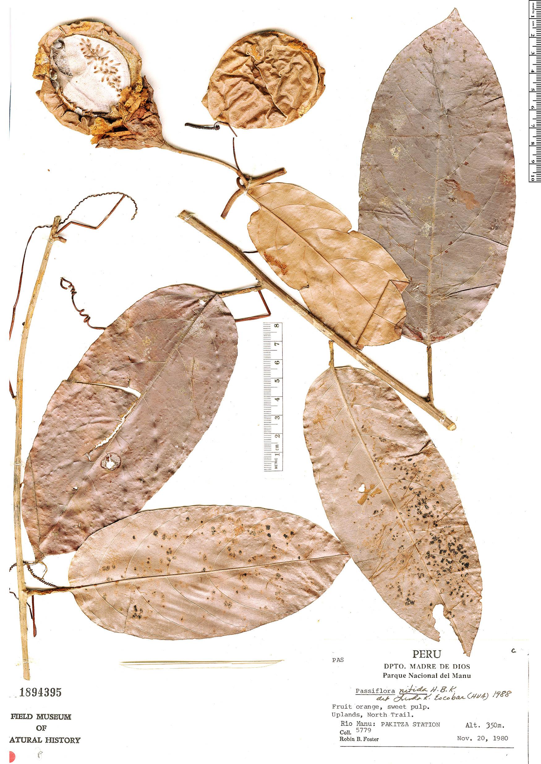 Specimen: Passiflora nitida