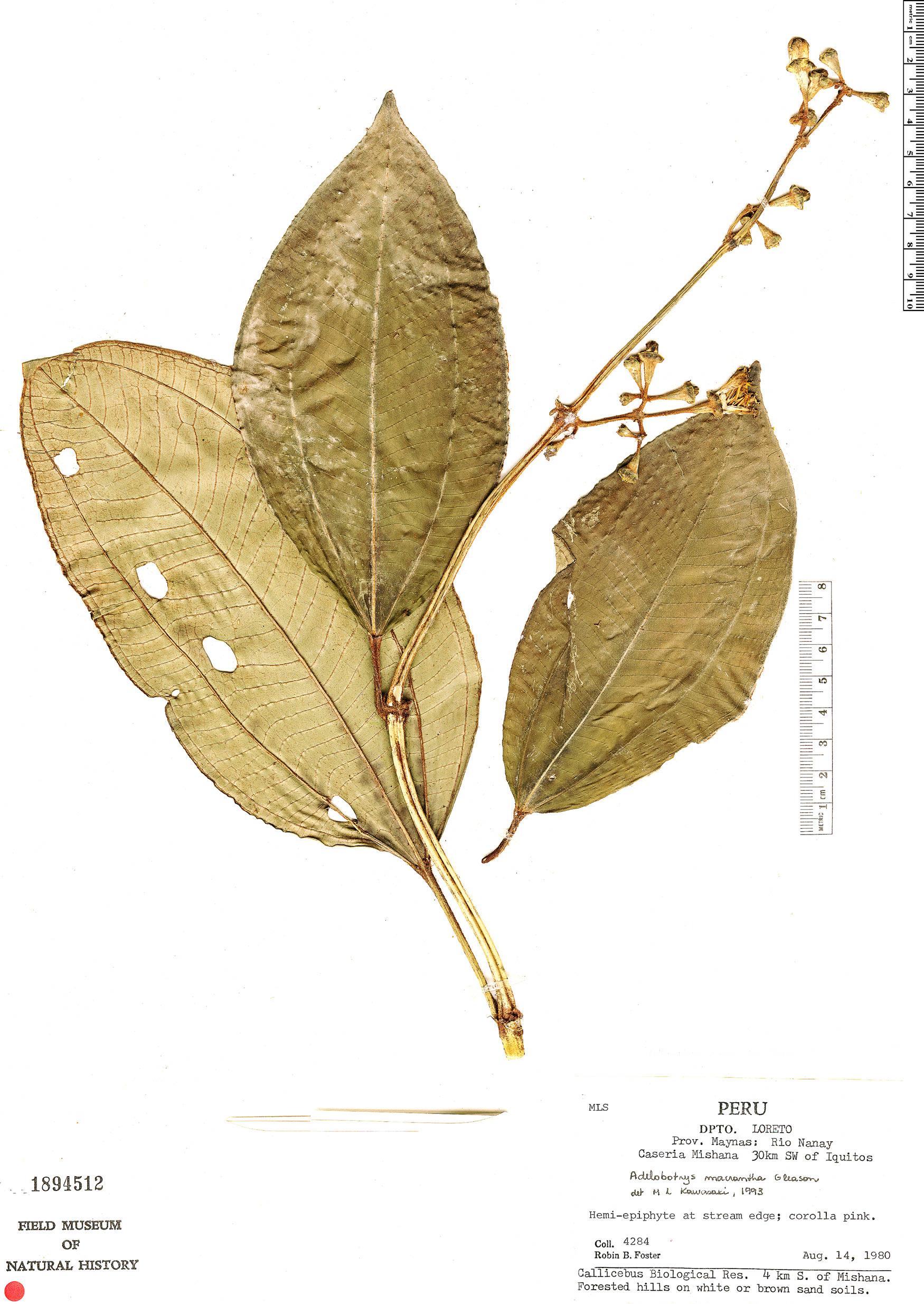 Specimen: Adelobotrys macrantha