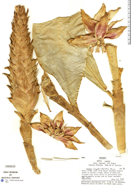 Specimen: Costus longebracteolatus