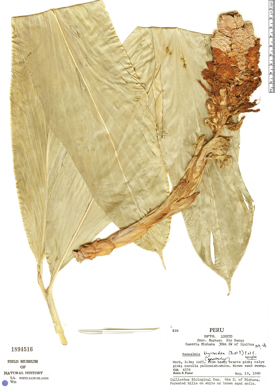 Specimen: Renealmia thyrsoidea