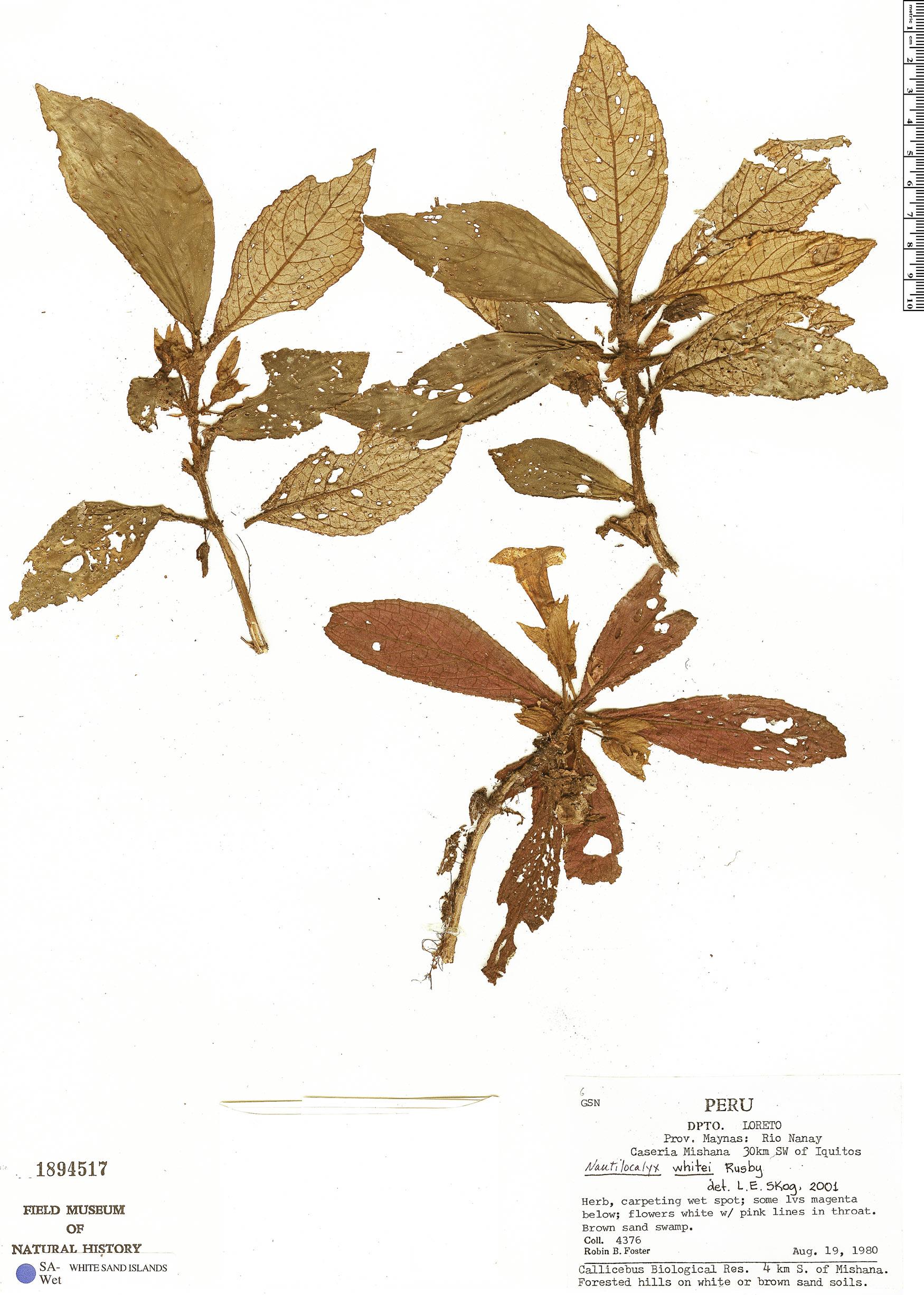 Specimen: Nautilocalyx whitei
